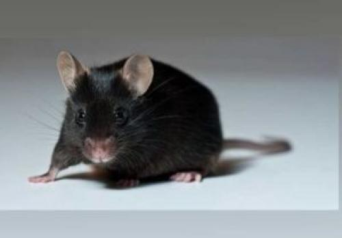 Что делать если сдохла мышь под полом. Сдохла мышь под полом: средства и методы избавления от запаха
